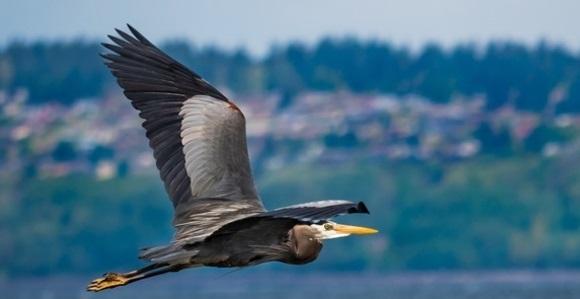 A great blue heron flies by Bainbridge Island