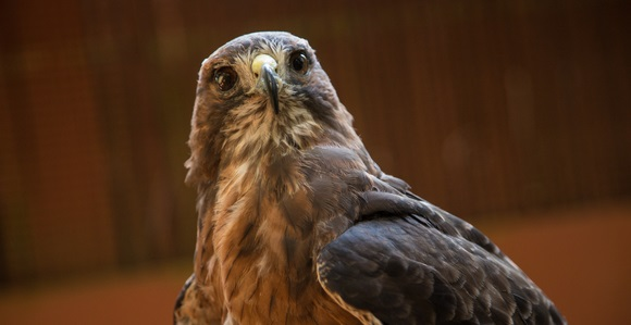 A Red-tailed hawk at West Sound Wildlife Shelter